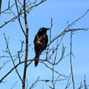 Uncommon Grackle Poster