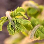 Unfolding Fern Leaf Poster
