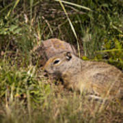 Unita Ground Squirrel Poster