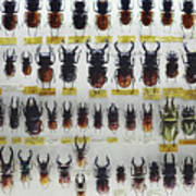 Unusual Pattern Made Out Of Many Stag Beetles Of Different Sizes Poster