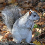 Unusual White And Gray Squirrel Poster