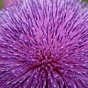 Up Close On Musk Thistle Bloom Poster