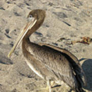 Up Close With A Pelican On A Sand Beach Poster