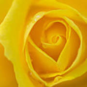 Up Close Yellow Rose Poster