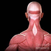 Upper Body Muscles Poster