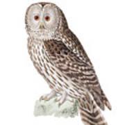 Ural Owl Poster