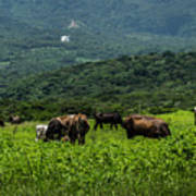 Vacas De Ahuachapan Poster