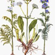 Valerian Flowers, 1613 Poster