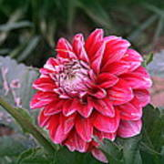 Variegated Colored Dahlia Poster