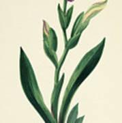 Variegated Iris Poster