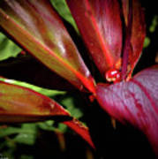 Variegated Ti Leaves Poster