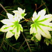 Variegated Vine Maple Poster