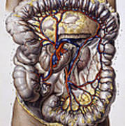 Veins And Arteries, 19th Century Poster