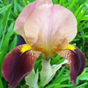 Velvet Iris Poster