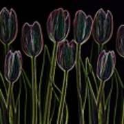 Velvet Tulips Poster