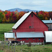 Vermont Cows At The Barn Poster