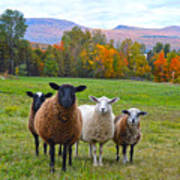 Vermont Sheep In Autumn Poster