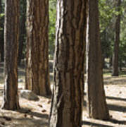 Vertical Of A Stand Of Ponderosa Pine Poster
