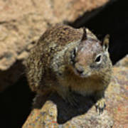 Very Cute Face Of A Wild Squirrel In California Poster