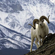 Very Large Dall Sheep Ram On The Grassy Poster