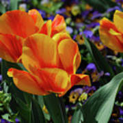 Very Pretty Colorful Yellow And Red Striped Tulip Poster
