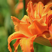 Very Pretty Double Orange Daylily Flowering In A Garden Poster