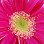 Vibrant Pink Gerber Daisy Poster