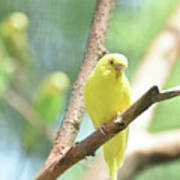 Vibrant Yellow Budgie Parakeet In The Summer Poster