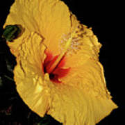 Vibrant Yellow Hibiscus By Kaye Menner Poster