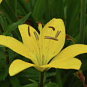 Vibrant Yellow Lily Thriving In The Spring Poster