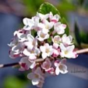 Viburnum Bloom Poster
