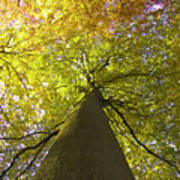 View To The Top Of Beech Tree Poster