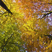 View To The Top Of Beech Trees Poster
