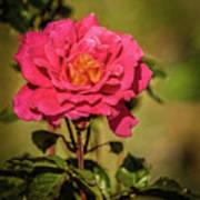 Vignetted  Rose Poster