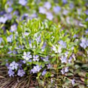 Vinca Violet Purple Clump Poster