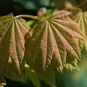 Vine Maple Leaves Poster