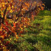 Vineyard 13 Poster