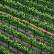 Vineyard Rows - Slovenia Poster