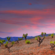 Vineyards At Sunset In Spain Poster