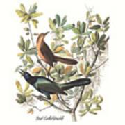 Vintage Boat-tailed Grackles Audubon Poster
