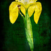 Vintage Canna Lily Poster