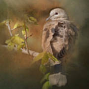 Vintage Dove Poster