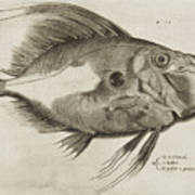 Vintage Fish Print Poster