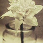 Vintage Floral Still Life Of A Pure White Bloom Poster