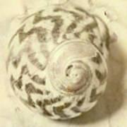 Vintage Seashell Still Life Poster
