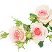 Garden Roses And Buds Poster