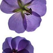 Violet Cranesbill Poster