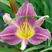 Violet Day Lily Poster