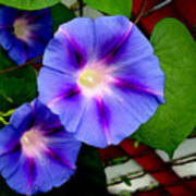 Violet Morning Glories Poster
