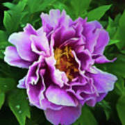 Violet Peony Poster